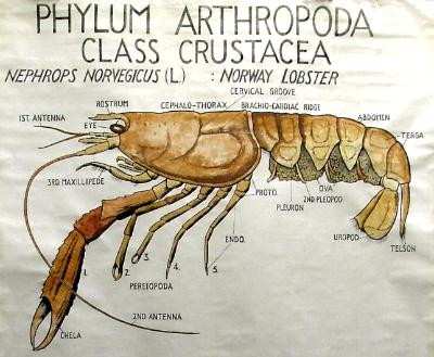 Detail of a teaching chart showing the Norway Lobster or Scampi