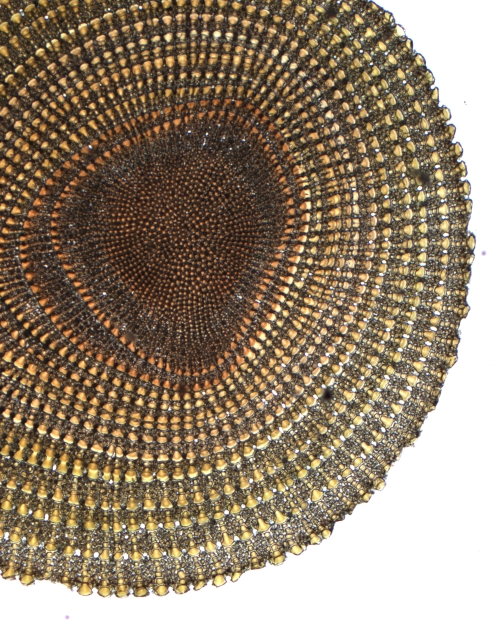 Spine of a Sea Urchin